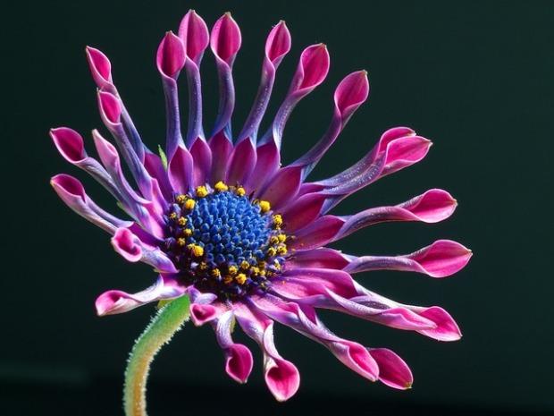 african-daisy-3413_640.jpg