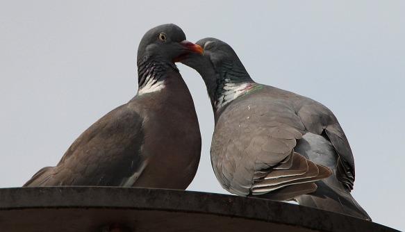 pigeons-413073_1920